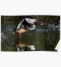 Flight Of The Goosander Poster