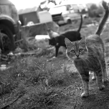 The Feral Life: Feral Cats in B&W by Pagani
