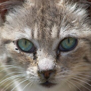Silver Tabby Feral Cat by Pagani