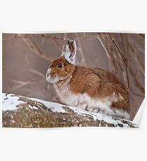 Snow Shoe Hare  Poster
