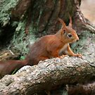 Red Squirrel, May 2019 by RedHillDigital