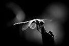 Dragonfly  by Joshua Greiner