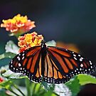 Butterfly by D R Moore