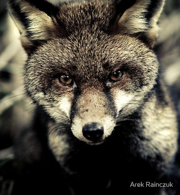 Portrait of a fox by Arek Rainczuk