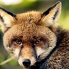 Red Fox by Arek Rainczuk