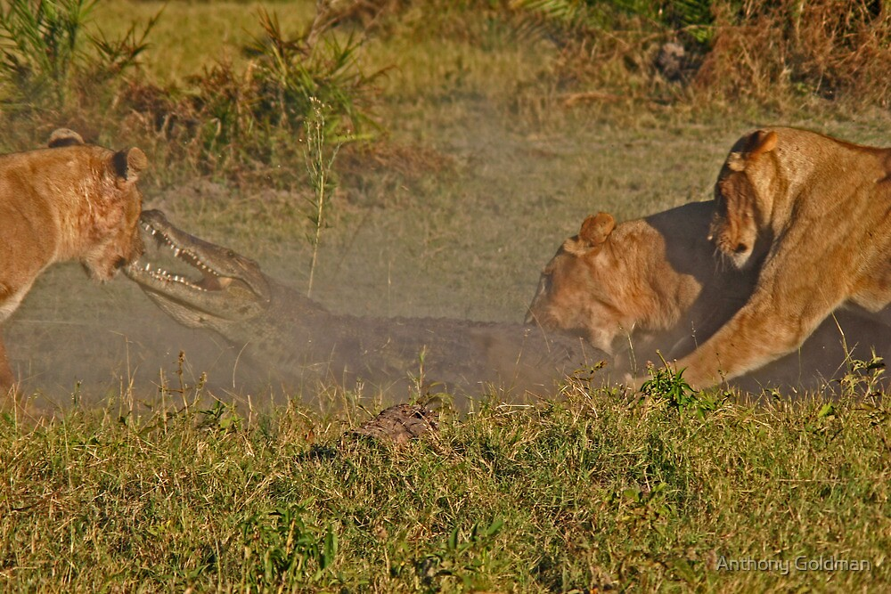 Lion -crocodile interaction 2 by Anthony Goldman