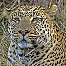 Leopard by jozi1