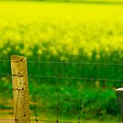 Canola fields at Clare Valley by Scarlet