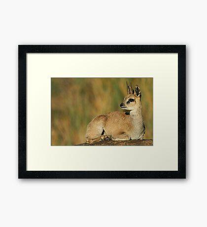 Klipspringer Buck Framed Print