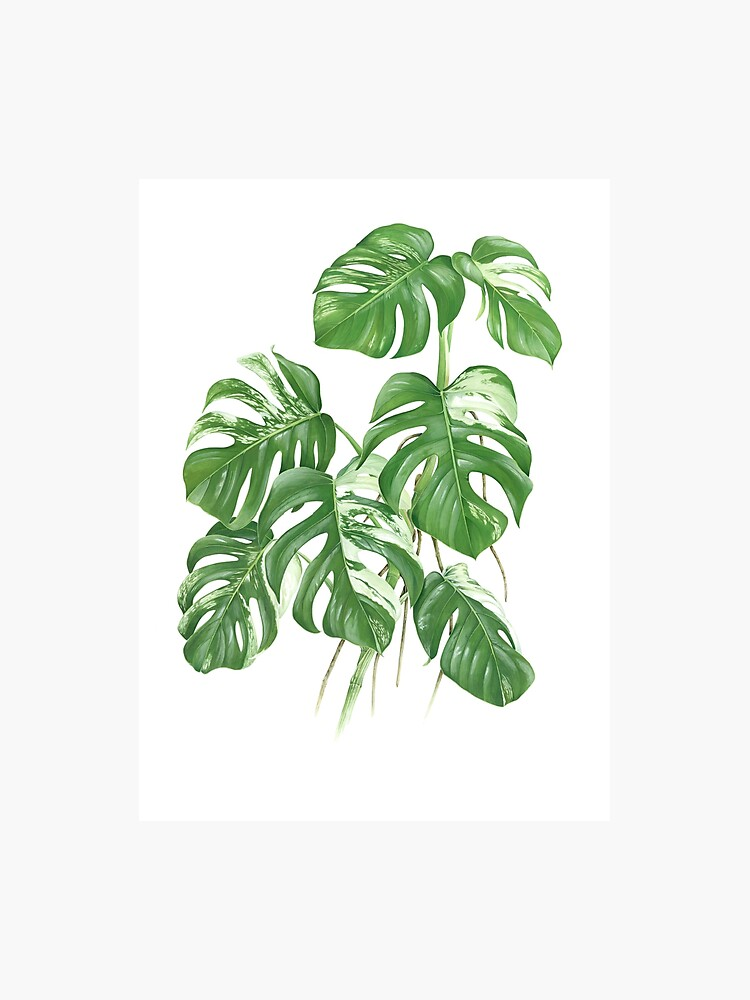 fbc3aef52 Variegated Monstera Deliciosa - [Indoor Plant Love] Photographic Print