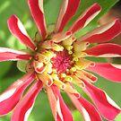 Zinnia bloom by debiskids