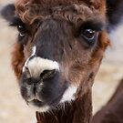 Alpaca by Kimberly Palmer