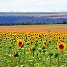 Sunflower Fields, Forever... by Jody Johnson