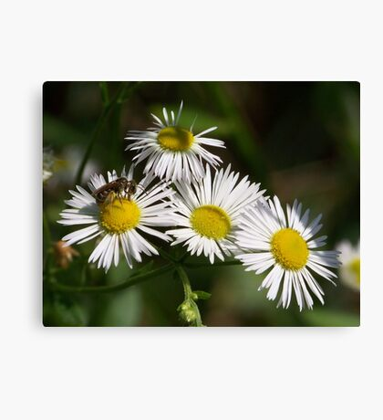 White aster and a little visiting bee.  Canvas Print
