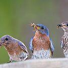 Eastern Bluebird Family by Bonnie T.  Barry