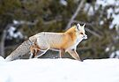 Yellowstone fox by Anthony Brewer