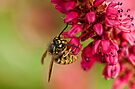 Wasp by Val Saxby