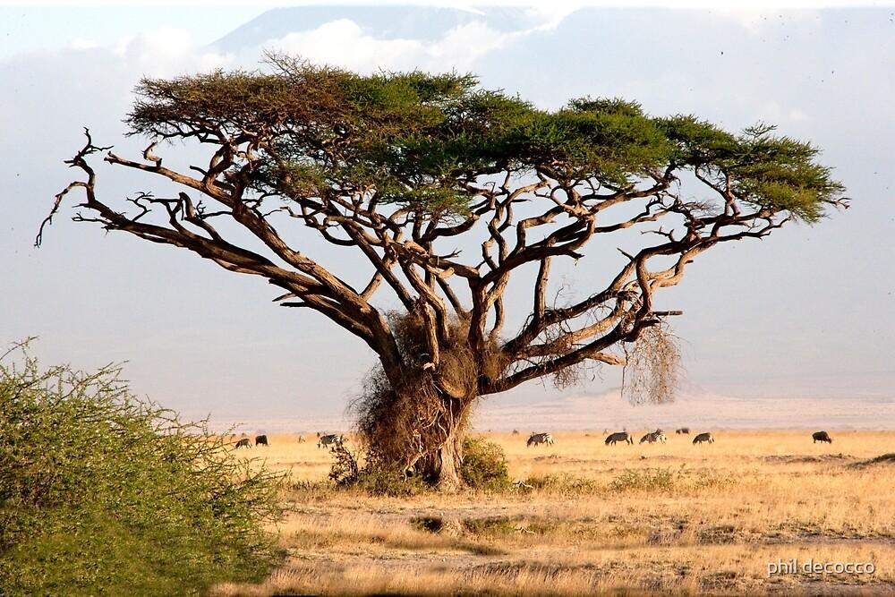 Tanzanian Acacia by phil decocco