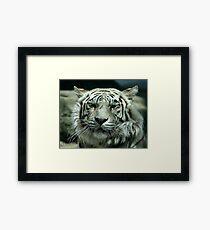 face of the white tiger Framed Print