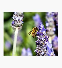 There's No Bee in Lavender Photographic Print