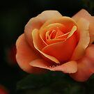 Orange Rose with Raindrops by shane22