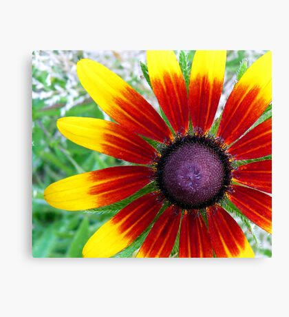 "Blackeyed Susan - ""Becky Cinnamon Bi-color"" variety Canvas Print"