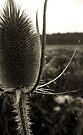Wild Thistle by Marcia Rubin