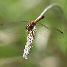 Dragonflies by Tracy Wazny