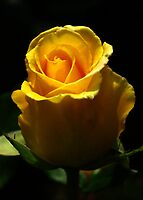 Yellow Rose, macro by BigAndRed