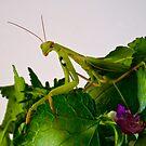 Mantis 2 by Albert Dickson