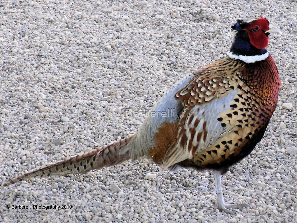 Pheasant - Plump and Pretty by Barberelli