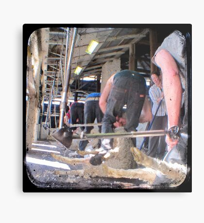 Heads Down, Bums Up - Shearing - TTV Metal Print