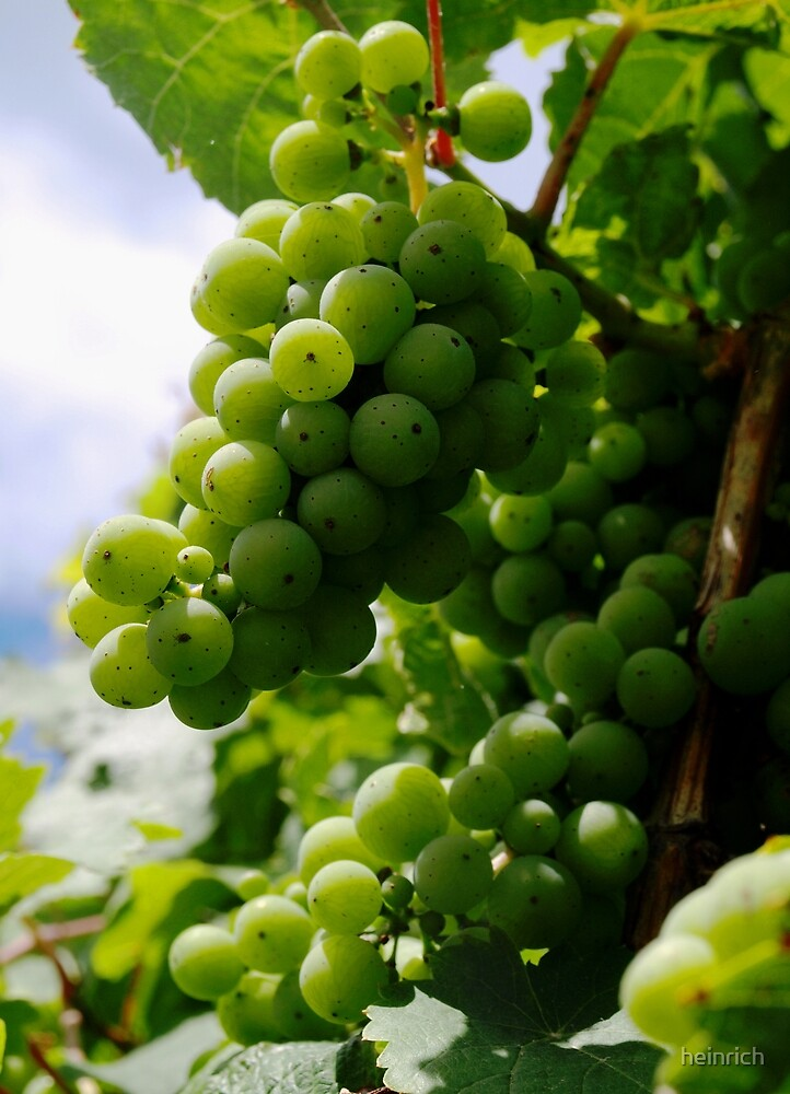 Grapes by heinrich