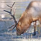 Yellowstone Deer by dgbimages