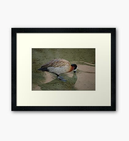 White-Faced Whistling Duck Framed Print