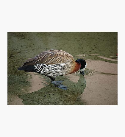 White-Faced Whistling Duck Photographic Print
