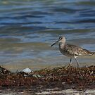 The Willet, _Tringa semipalmata_ by D R Moore