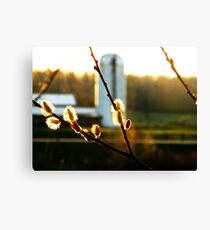 Sunset Pussy Willow Canvas Print