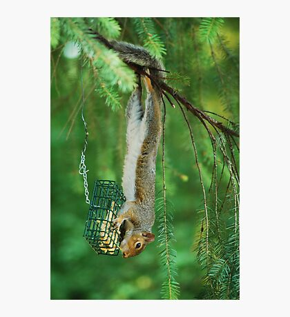 Theiving Squirrel  Photographic Print