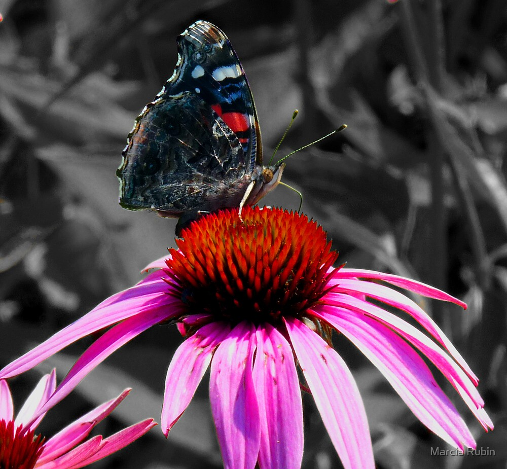 A stunning Admiral Butterfly by Marcia Rubin
