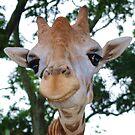 "Giraffe Portrait III  ""The Smile"" by Alison M"