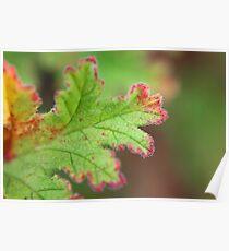 Winter Geranium Leaf Poster