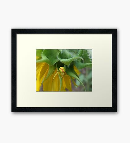Crab Spider and the Sunflower Framed Print