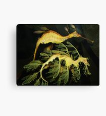Sea Dragons Canvas Print