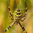 Wasp Spider by Robert Abraham