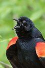 Red-Winged Black Bird Singing by WorldDesign