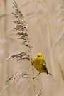Yellow Warbler by WorldDesign