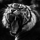 Tiger B/W by Samantha  Nicol