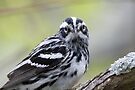 Black-and-white Warbler by WorldDesign