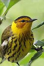 Cape May Warbler by WorldDesign